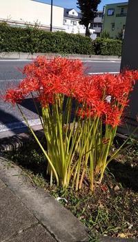 """彼岸過ぎ、川越街道に咲いてた""""曼珠沙華"""" - 健気に育つ植物たち"""