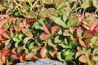 チングルマの紅葉 - お山遊び