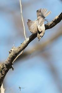 コサメビタキの捕食シーン - 上州自然散策3