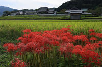 橘寺周辺の彼岸花 - 花景色-K.W.C. PhotoBlog