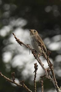 コサメビタキ - 阪南カワセミ【野鳥と自然の物語】