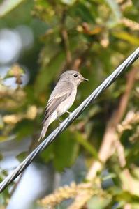 サメビタキ - 阪南カワセミ【野鳥と自然の物語】