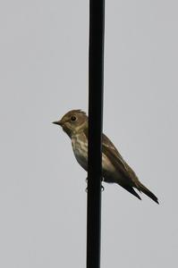 エゾビタキ - 阪南カワセミ【野鳥と自然の物語】