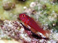 珊瑚の海石垣島米原プカピー - 風任せ自由人