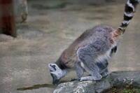 小動物コーナーのワオキツネザル - 四季の予感
