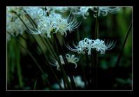 白い彼岸花 - Desire