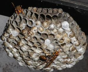 肝っ玉女王蜂の凄さ -