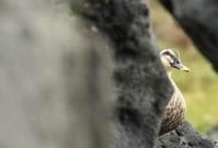 カルガモ - 北の野鳥たち