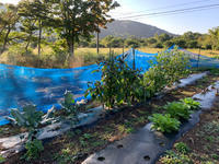 白馬:畑だより(10月初め) - bluecheese in Hakuba & NZ:白馬とNZでの暮らし