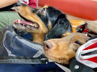 20年10月3日動物病院&ハロウィンに笑顔! - 旅行犬 さくら 桃子 あんず 日記