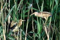 S沼のヨシゴイの幼鳥 - 銀狐の鳥見