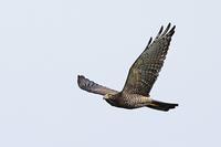 タカの渡り ⑬ - 野鳥の視線