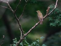 お散歩したら・・・キビタキ。 - 鳥見んGOO!(とりみんぐー!)野鳥との出逢い