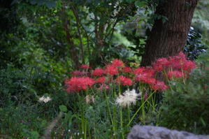 Red spider lily -
