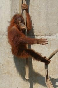 2歳になったオランウータンの女の子、ポポちゃん(市川市動物園) - 旅プラスの日記