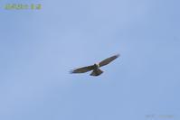 鷹の渡り<サシバ4> - 奥武蔵の自然