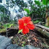 ハイビスカス🌺 - Nature Care Hawaii