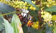 セイヨウヒイラギナンテン - 虫のひとりごと