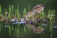 S沼のヨシゴイの餌取り - 銀狐の鳥見