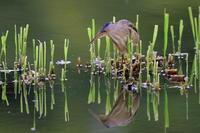 S沼のヨシゴイと水鏡 - 銀狐の鳥見