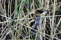 S沼のヨシゴイ幼鳥の試練 - 銀狐の鳥見