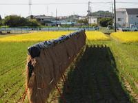 稲木干し籾を啄む雀 - エンジェルの画日記・音楽の散歩道
