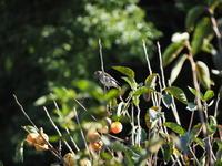 柿の実を啄む - エンジェルの画日記・音楽の散歩道