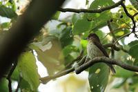 君は誰?サメビタキ - 野鳥公園