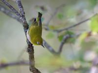 お山のメジロたち(ベランダから(その18)) - トドの野鳥日記