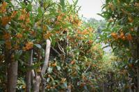 金木犀の季節~金木犀のトンネル~金木犀のシロップ作り - バラとハーブのある暮らし Salon de Roses