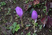 自然栽培霜が来るツル豆の根伐り露地畝キャベツ - 自然栽培 釧路日記