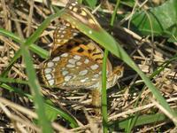 ウラギンヒョウモン の産卵 - 秩父の蝶