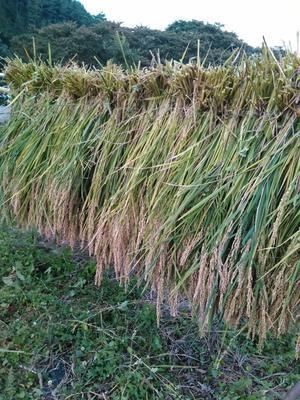 趣味の田んぼの稲刈り -