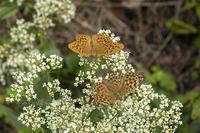 秋のチョウ~ミドリヒョウモン、ヤマトシジミなど - チョウ!お気に入り
