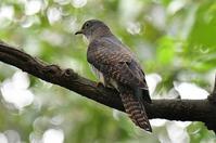 ツツドリ - そらと林と鳥