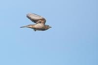 エゾ、サメ、コサメの飛び出し、飛び付き、飛翔シーン - 上州自然散策3