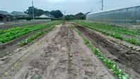 【アスパラ屋仁左衛門】葉物野菜の定植を始めた。順調です! - 仁左衛門のアスパラ日記