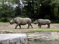クロサイの親子 - 動物園放浪記