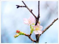 * 十月の桜 * - * gonta day's *