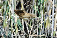 S沼のヨシゴイ幼鳥の餌取り - 銀狐の鳥見