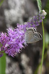 ツルボに吸蜜するヤマトシジミ - 続・蝶と自然の物語