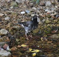 ムクドリ水飲み、水浴び - 打出頑爺の鳥探し