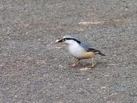 ゴジュウカラとビンズイ - コーヒー党の野鳥と自然パート3