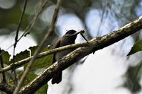 10月のサンコウチョウさん - 鳥と共に日々是好日②