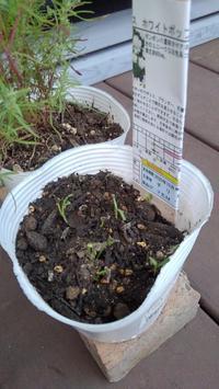 コスモスの芽 - ウィズ(ゼロ)コロナのうちの庭の備忘録~Green's Garden~