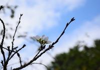 10月の桜~山吹 - バラとハーブのある暮らし Salon de Roses