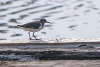 沼のイソシギ(磯鷸) - 野鳥などの撮影記録