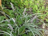 斑入り藪蘭 - だんご虫の花