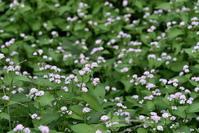 散歩で見つけた花*ミゾソバ - 風のささやき