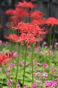 葛飾区にある宝蔵院に赤く爽やかな彼岸花が美しい! - 一場の写真 / 足立区リフォーム館・頑張る会社ブログ